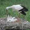 Dél-Afrikáig jutott két jeladós fehér gólya, másik kettő itthon telelt
