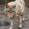 A hazai farkasokért fogtak össze a természetvédelem kulcsszereplői