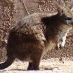 Parma kenguru