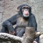 csimpanz1