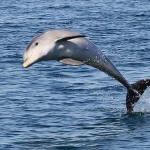 uj_delfin_faj_Tursiops_australis