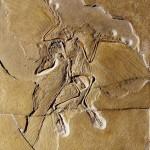 Archaeopteryx_tollas_dinoszaurusz