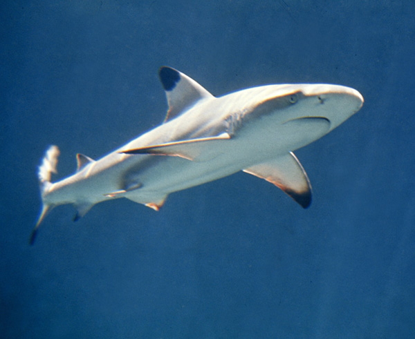 Carcharhinus_melanopterus_feketefoltos_capa