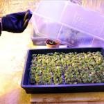 Marihuana_ultetveny_Bp_kabitoszer1