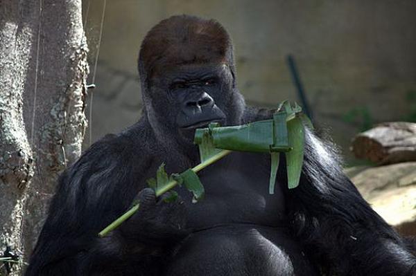 Gorilla_gorilla_diehli