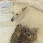 Olymp_Dar_Tallim_tigris_kutya
