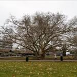 Keleti platánfa az egri Termálfürdő területén 2013. március 1-jén. A több mint 250 éves fa nyerte a 2013-as európai Év fája versenyt. MTI Fotó: Komka Péter