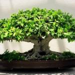 bonsai_000
