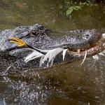 krokodil_madarat_eszik_0