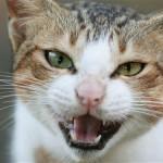 BKWF13 domestic cat hissing