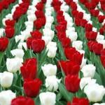 marcius15_tulipan_00