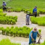 rizstermesztes_kina