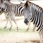 zebra_zebrak_afrika_vadallat