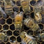 méhészet_mez_mehecske_kaptar