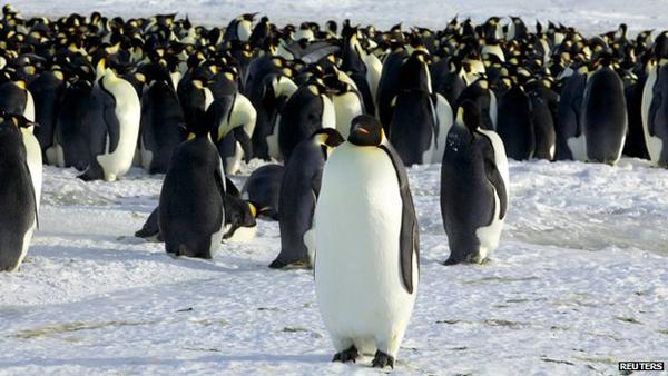 antarktisz_csaszarpingvinek