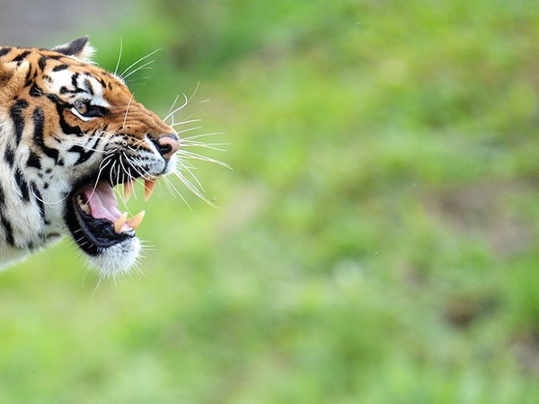 tigris_00