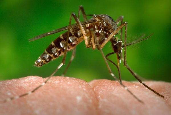 Zika_virus_szunyog