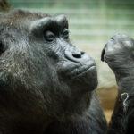gorilla_colo
