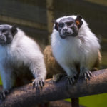 Pied tamarin (Saguinus bicolor) in an indoor enclosure