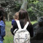 gorilla_budapest_allatkert_2020