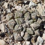 sziklakaktusz_Ariocarpus_fissuratus