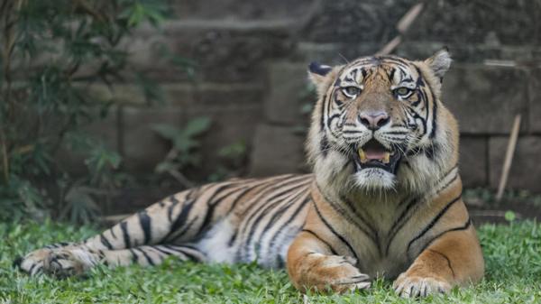 Gianyar, 2020. július 28. Szumátrai tigris az indonéziai Bali szigetének állatkertjében a nemzetközi tigrisnapon, 2020. július 28-án. A szumátrai a világ kihalással leginkább veszélyeztetett tigrisfajtája, amelybõl már négyszáznál kevesebb él vadon, a számuk pedig egyre csökken az orvvadászat és élõhelyük területének zsugorodása miatt. MTI/EPA/Made Nagi