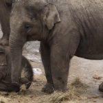 kiselefant