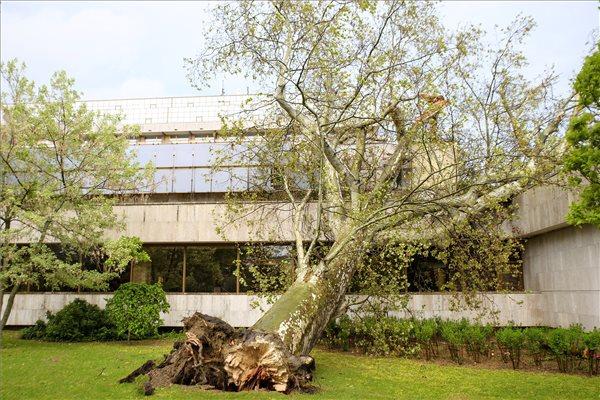 A viharban kidőlt, két méter törzsátmérőjű, harminc méter magas öreg platánfa a Margitszigeten 2021. május 5-én. MTI/Lakatos Péter