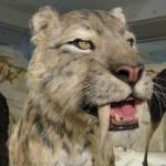 kardfogu_tigris