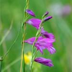 Gladiolus_palustris_mocsari_kardvirag