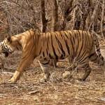 T25_tigris_india