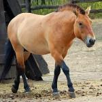 vadlo_Przsevalszkij_lo_(Equus_ferus_przewalskii)