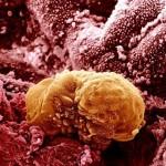 embrio_6napos