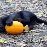 jaguar_kolyok_(Panthera_onca)