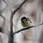 Hideg idő - Állatok - Széncinege - Szolnok, 2012. február 3. - Széncinege (Parus major) áll egy fa ágán, Szolnokon. A szakemberek szerint a kistestű énekesmadarakat komolyan veszélyezteti a mostani, erős széllel és kiadós havazással kísért rendkívüli hideg. Ezért aki teheti, rendszeres etetésükről és itatásukról gondoskodva akár városi környezetben is segíthet e madaraknak átvészelni a váratlanul beköszöntött, zord téli napokat., MTI Fotó: Bugány János