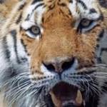 tigris_a_noi_wcben