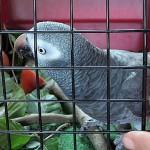 papagaly