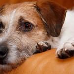 BFA20R Kromfohrlaender (Canis lupus f. familiaris), lying on a sofa looking sad