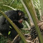 emberszabasu_majmok_majom_afrika