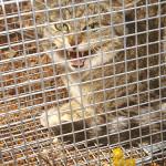 vadon elo macska ausztralia