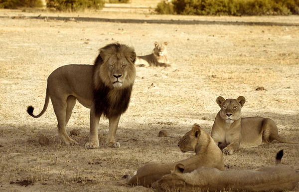 zimbabwe_cecil_oroszlan