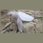 albino_teknos