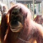 orangutan_melbourni_allatkert_2016