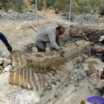 General Cepeda, 2013. július 23. A mexikói Nemzeti Antropológiai és Történeti Intézet, az INAH által 2013. július 23-án közreadott kép egy mexikói paleontológusok által feltárt hadroszaurusz gerincoszlopáról az északkelet-mexikói General Cepeda község közelében lévõ ásatáson. A lelet a tudósok becslése szerint közel 72 millió éves. (MTI/EPA/Mauricio Marat)