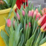 gazdapiac_tulipan (6)