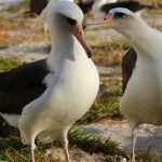 """This November 21, 2015 handout photo provided by the US Fish and Wildlife Service(USFWS) shows Wisdom(L), the world's oldest known banded bird in the wild, with her mate on Midway Atoll National Wildlife Refuge/Battle of Midway National Memorial.  The world's oldest living tracked bird has been spotted back on American soil where she is expected to lay an egg at the ripe old age of 64. Wisdom, a Laysan albatross, was seen at the Midway Atoll national wildlife refuge with a mate at the weekend following a year's absence. She was first tagged in 1956 and has raised at least 36 chicks since then. AFP PHOTO / HANDOUT / US FISH NAD WILDLIFE SERVICE / KIAH WALKER                          == RESTRICTED TO EDITORIAL USE / MANDATORY CREDIT: """"AFP PHOTO / HANDOUT / US FISH NAD WILDLIFE SERVICE / KIAH WALKER """"/ NO MARKETING / NO ADVERTISING CAMPAIGNS / DISTRIBUTED AS A SERVICE TO CLIENTS == / AFP PHOTO / USFWS / KIAH WALKER"""