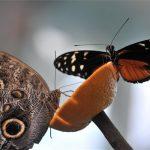 pillangok_2020_alaltkert_lepkekert
