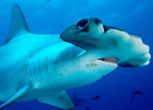 capa_kerekfeju_porolycapa_Sphyrna tiburo