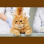 koronavirus_allatok_vakcina_macska_oltas_injekcio